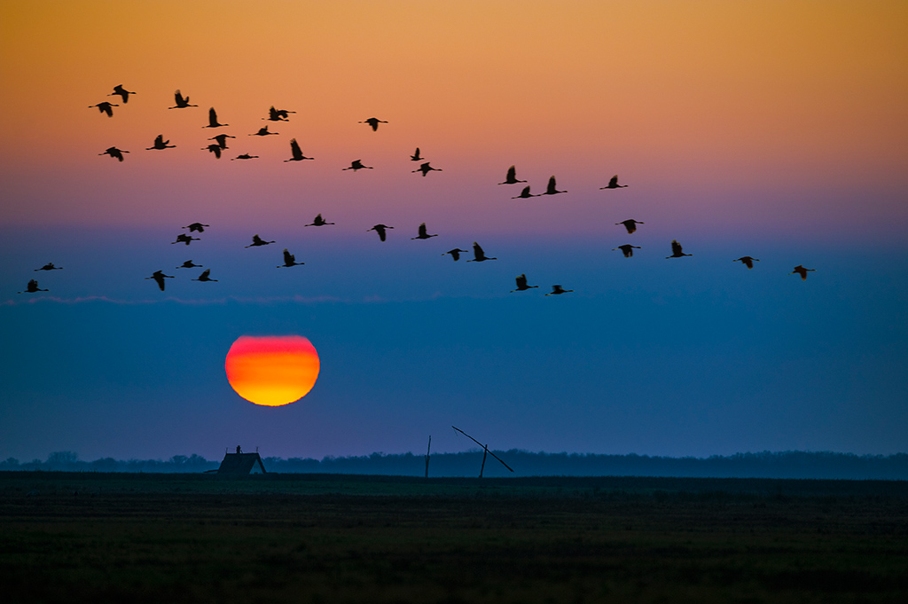 Crane flock in flight at sunset