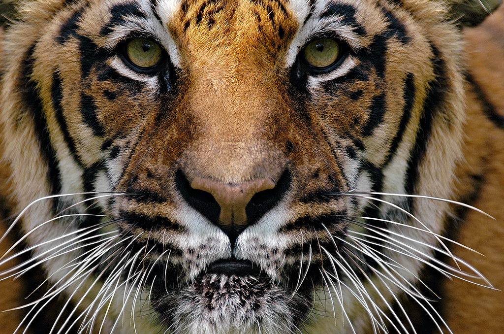 Close-up portrait of a Bengal Tiger