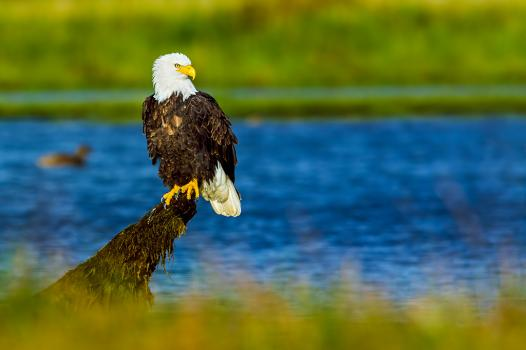Bald Eagle in Canada