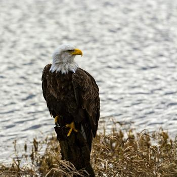 Bald Eagle, Fraser Valley, Canada